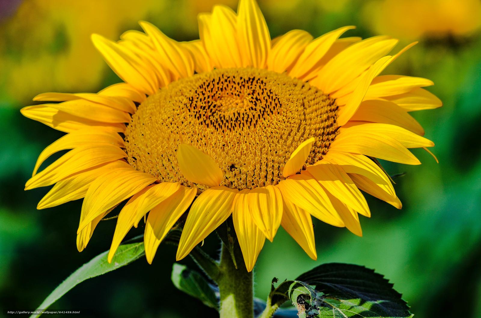 Download wallpaper flower,  sunflower,  flora free desktop wallpaper in the resolution 4928x3264 — picture №641459