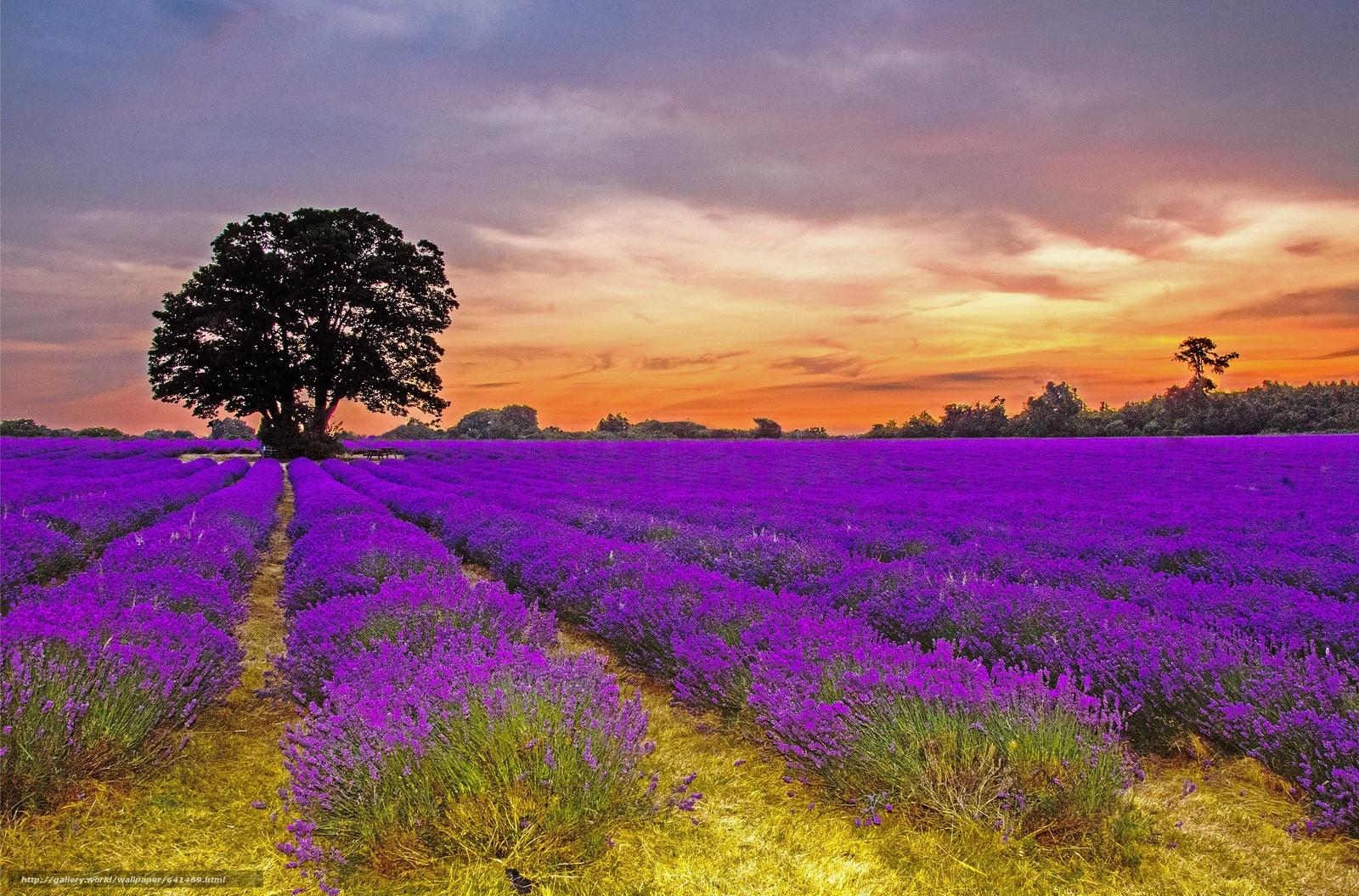 Скачать обои закат,  поле,  лаванда,  дерево бесплатно для рабочего стола в разрешении 4884x3220 — картинка №641469
