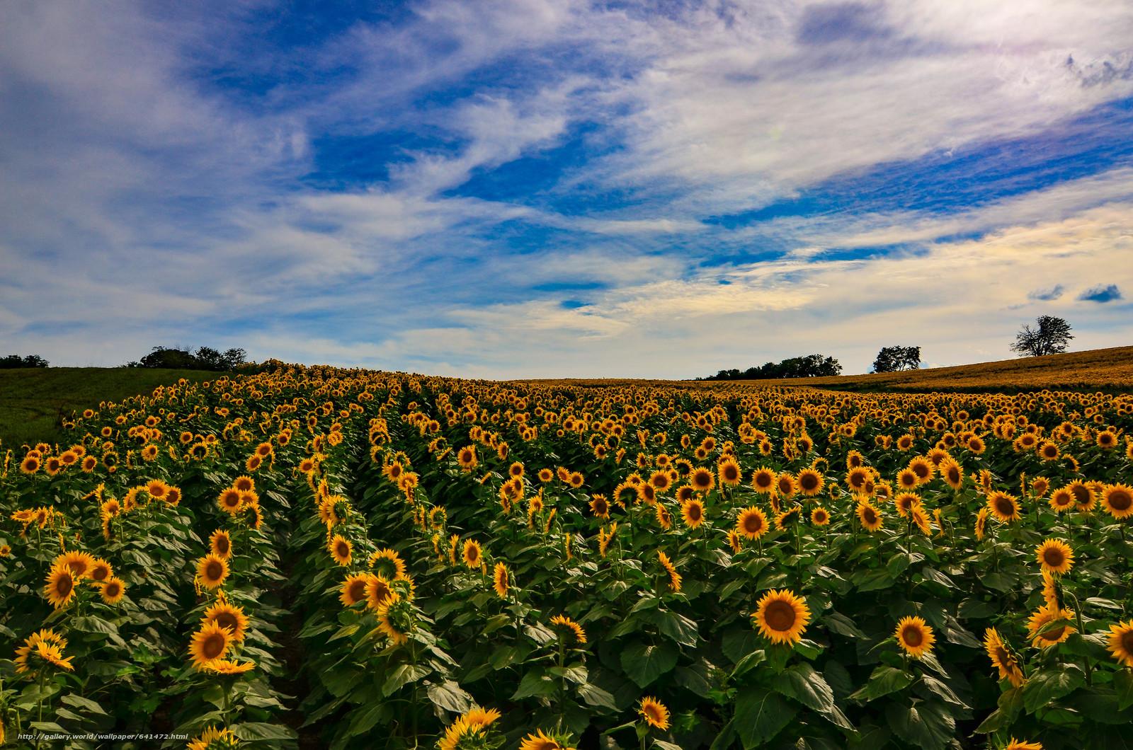 Download wallpaper sunset,  field,  Sunflowers,  landscape free desktop wallpaper in the resolution 4928x3264 — picture №641472