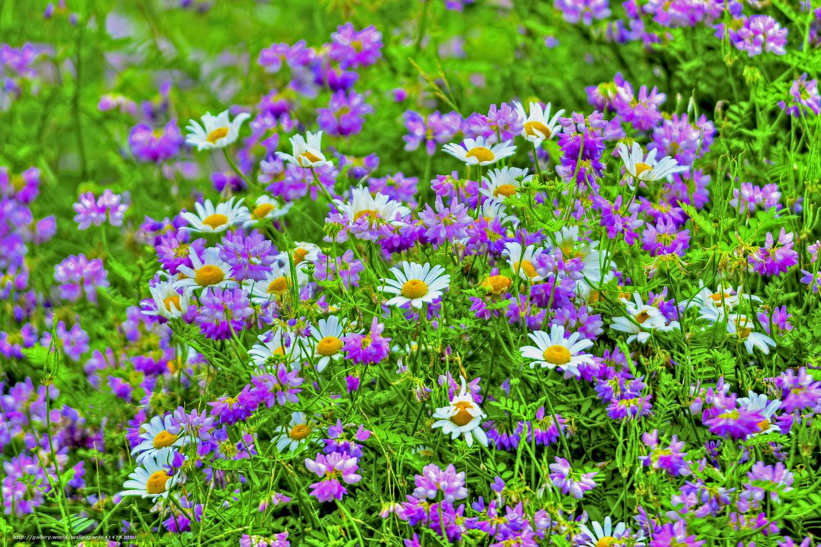 Скачать обои поле,  цветы,  ромашки,  флора бесплатно для рабочего стола в разрешении 2048x1365 — картинка №641475