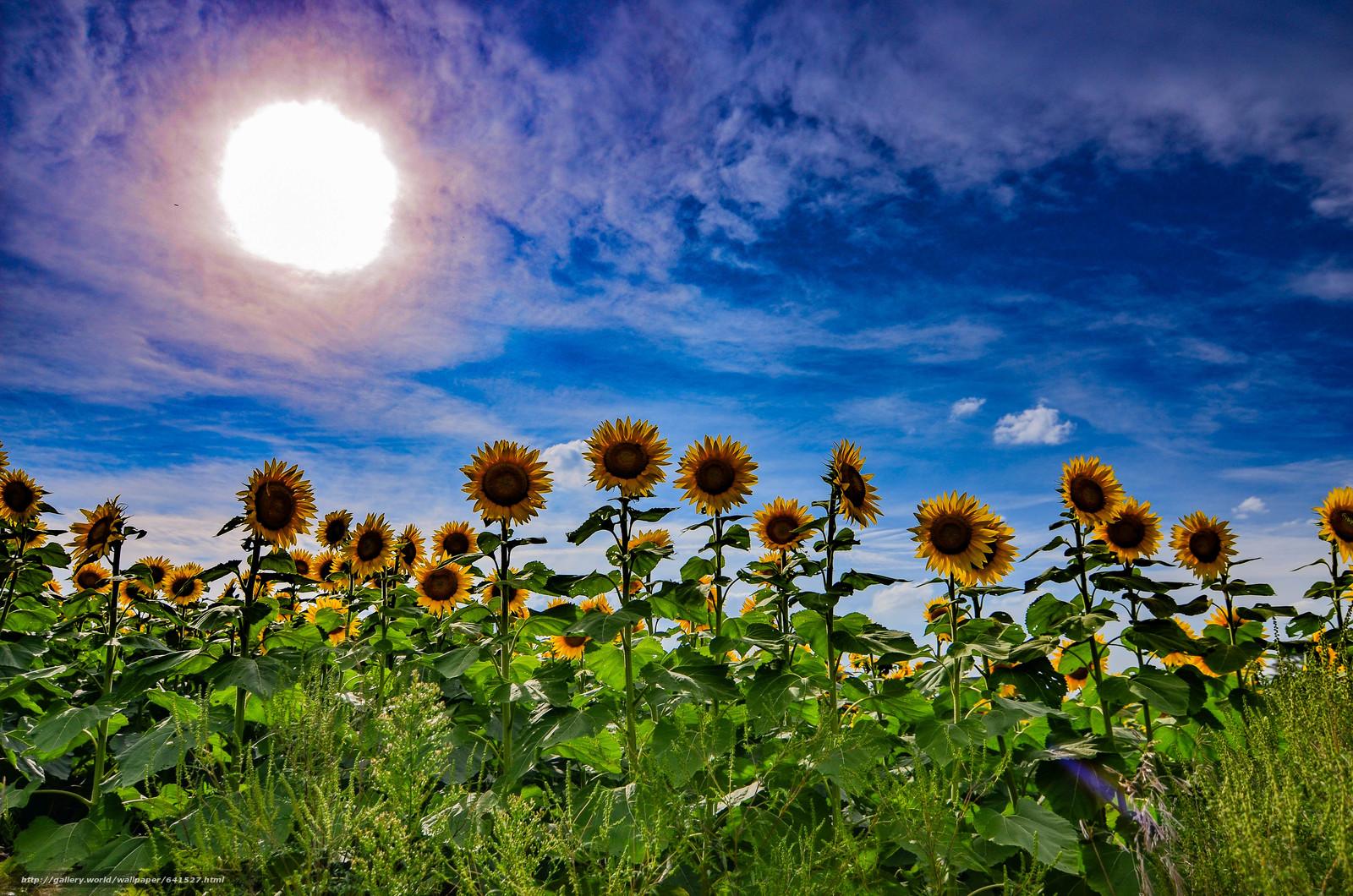 Download wallpaper field,  sky,  sun,  Sunflowers free desktop wallpaper in the resolution 4928x3264 — picture №641527