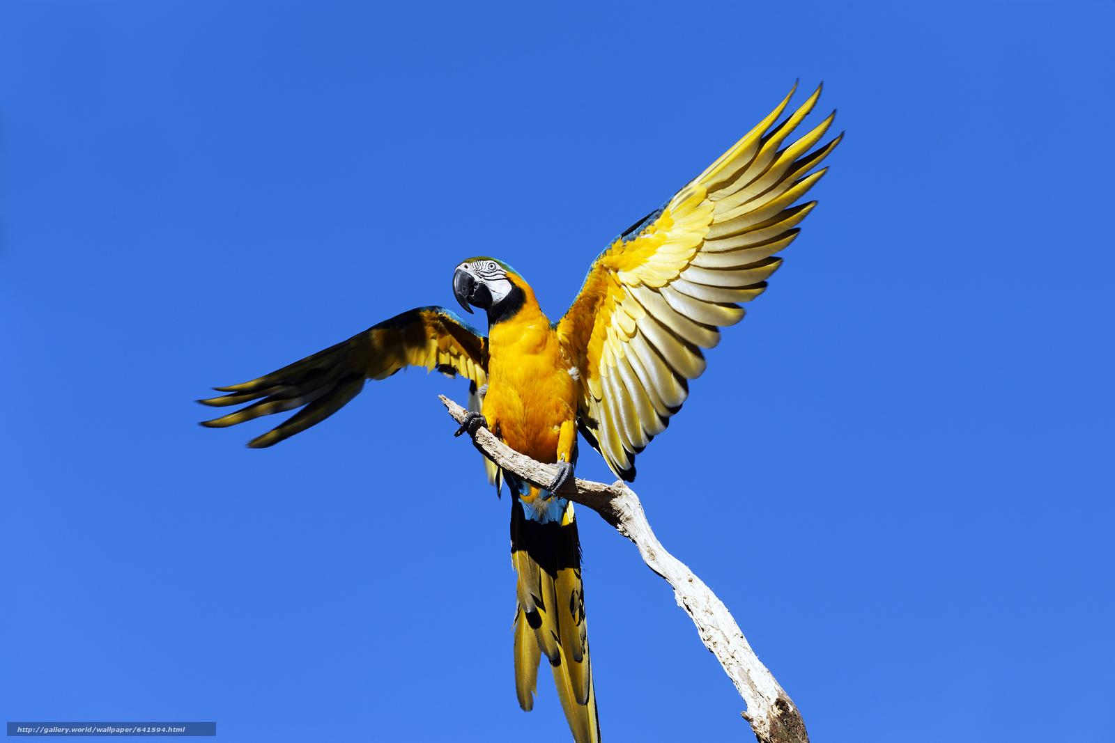 scaricare gli sfondi Blu e giallo Ara,  pappagallo,  uccello Sfondi gratis per la risoluzione del desktop 3000x2000 — immagine №641594