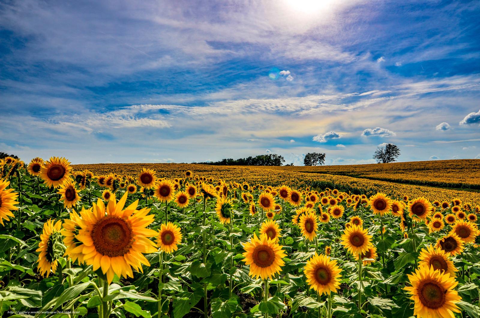 Download wallpaper sunset,  field,  Sunflowers,  landscape free desktop wallpaper in the resolution 4928x3264 — picture №641606
