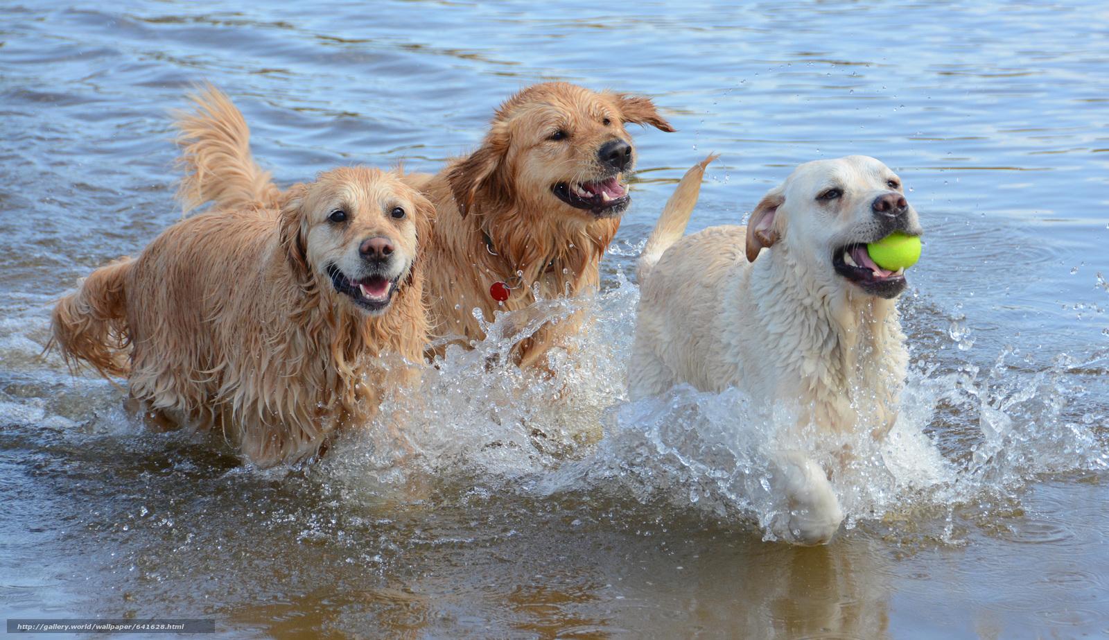 Скачать обои собаки,  игра,  бег,  животные бесплатно для рабочего стола в разрешении 4938x2850 — картинка №641628