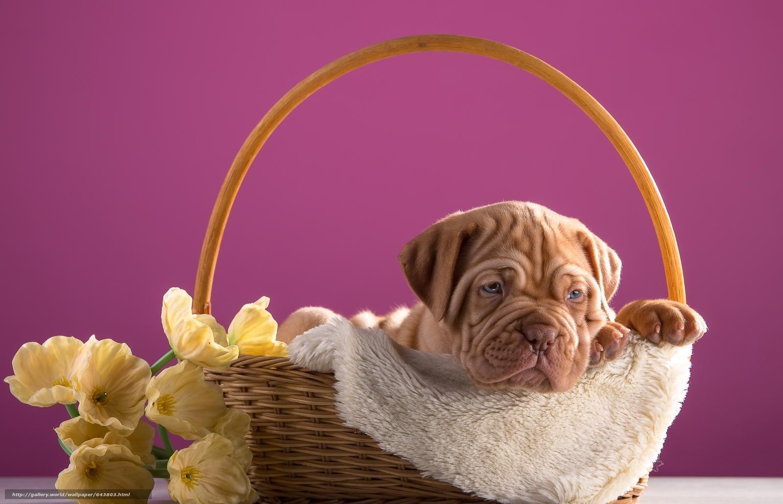 Descargar gratis Dogo de Burdeos,  perro,  cachorro,  cesta Fondos de escritorio en la resolucin 5262x3387 — imagen №643803
