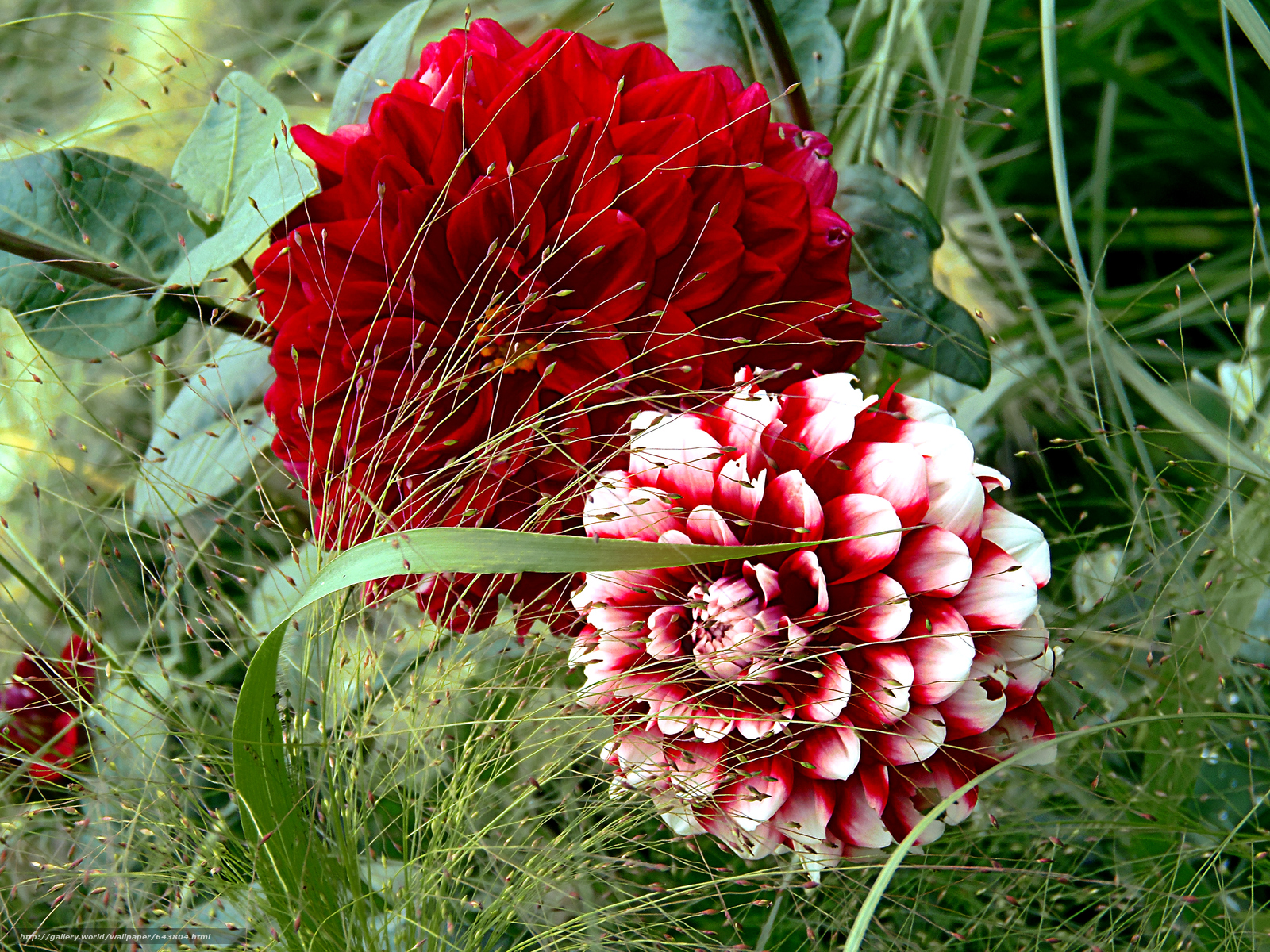 Download wallpaper dahlia,  Flowers,  flora free desktop wallpaper in the resolution 4288x3216 — picture №643804
