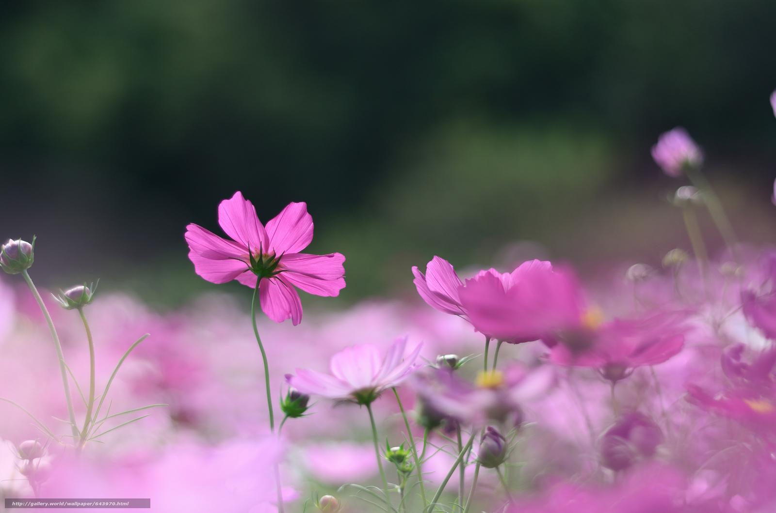 Tlcharger Fond d'ecran Fleurs,  fleur,  kosmeya,  cosmos Fonds d'ecran gratuits pour votre rsolution du bureau 2048x1356 — image №643970