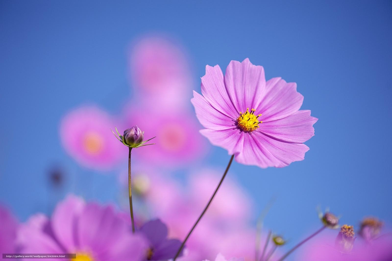 Download wallpaper Flowers,  flower,  kosmeya,  cosmos free desktop wallpaper in the resolution 2048x1363 — picture №643984