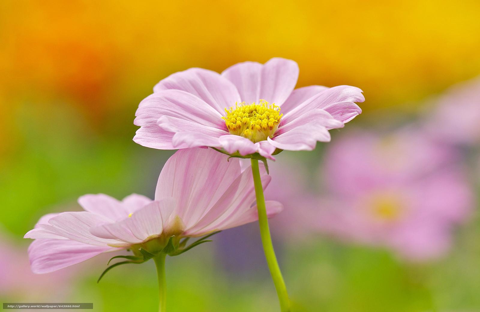 Descargar gratis Flores,  flor,  Kosmeya,  cosmos Fondos de escritorio en la resolucin 2048x1331 — imagen №643990