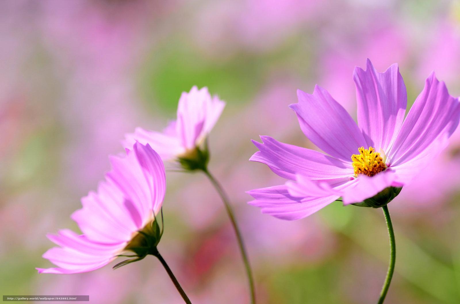 Tlcharger Fond d'ecran Fleurs,  fleur,  kosmeya,  cosmos Fonds d'ecran gratuits pour votre rsolution du bureau 2048x1356 — image №643991