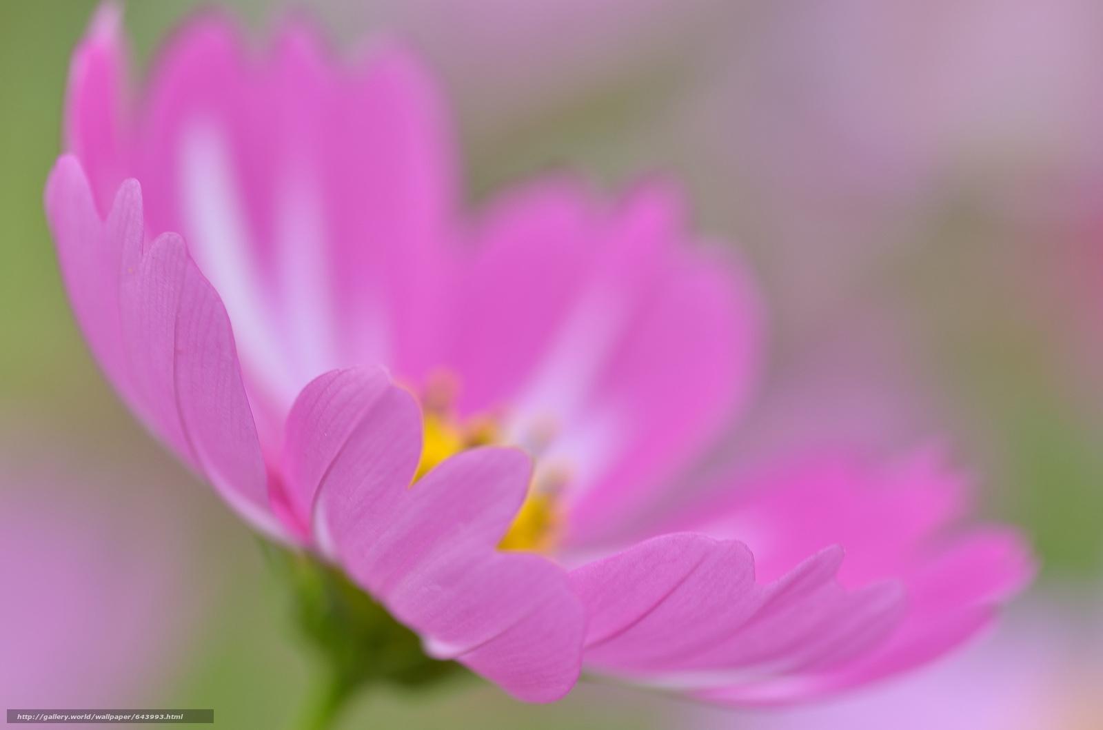 Descargar gratis Flores,  flor,  Kosmeya,  cosmos Fondos de escritorio en la resolucin 2048x1356 — imagen №643993