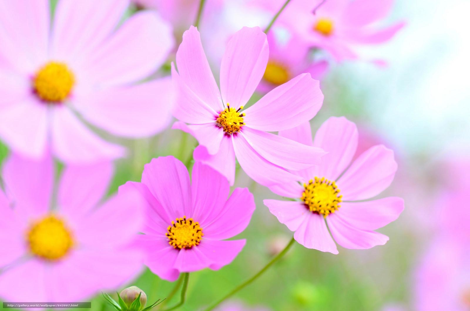 Tlcharger Fond d'ecran Fleurs,  fleur,  kosmeya,  cosmos Fonds d'ecran gratuits pour votre rsolution du bureau 2048x1356 — image №643997