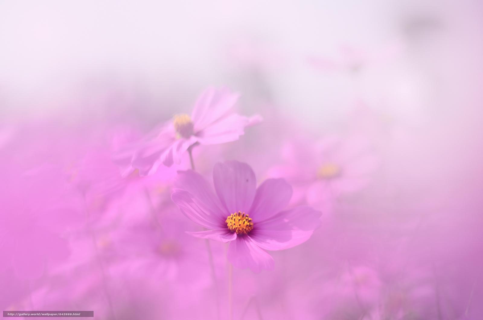 Tlcharger Fond d'ecran Fleurs,  fleur,  kosmeya,  cosmos Fonds d'ecran gratuits pour votre rsolution du bureau 2048x1356 — image №643999