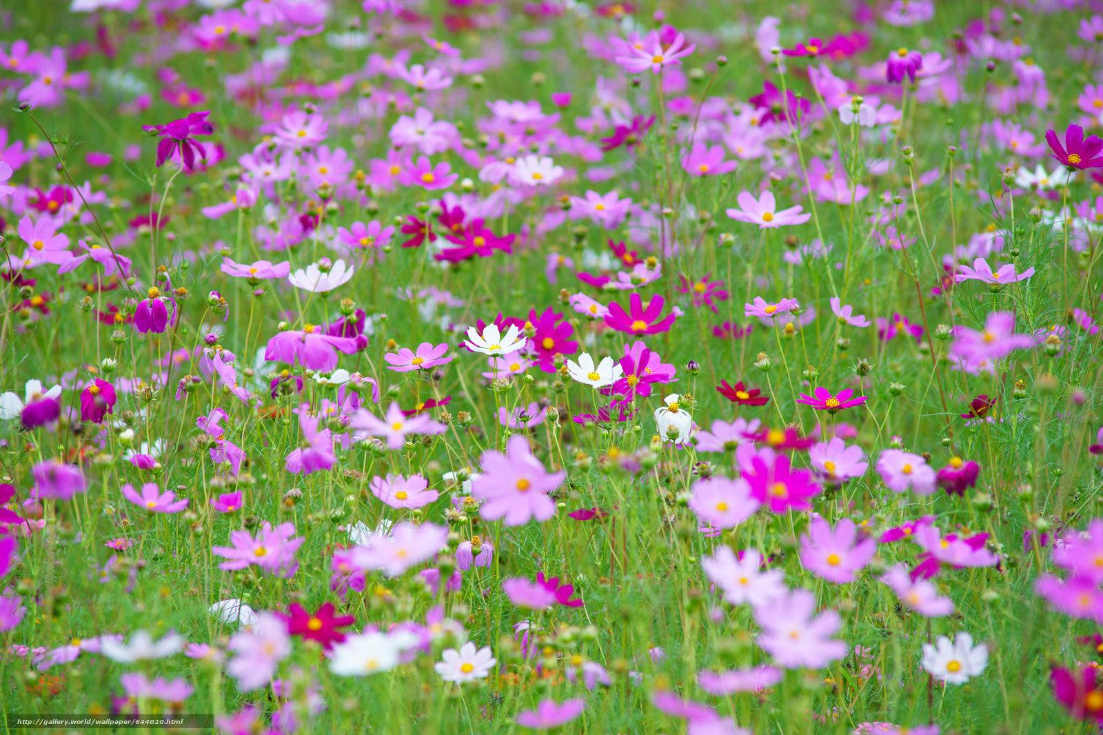 Descargar gratis Flores,  flor,  Kosmeya,  cosmos Fondos de escritorio en la resolucin 2048x1365 — imagen №644020