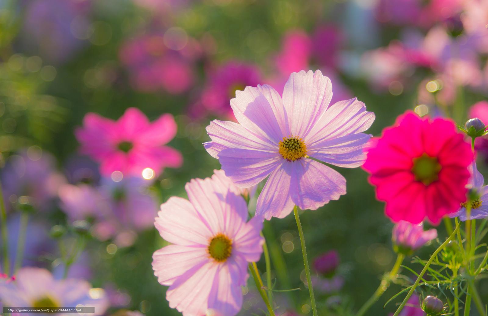 Скачать обои цветы,  цветок,  космея,  космеи бесплатно для рабочего стола в разрешении 2048x1329 — картинка №644036