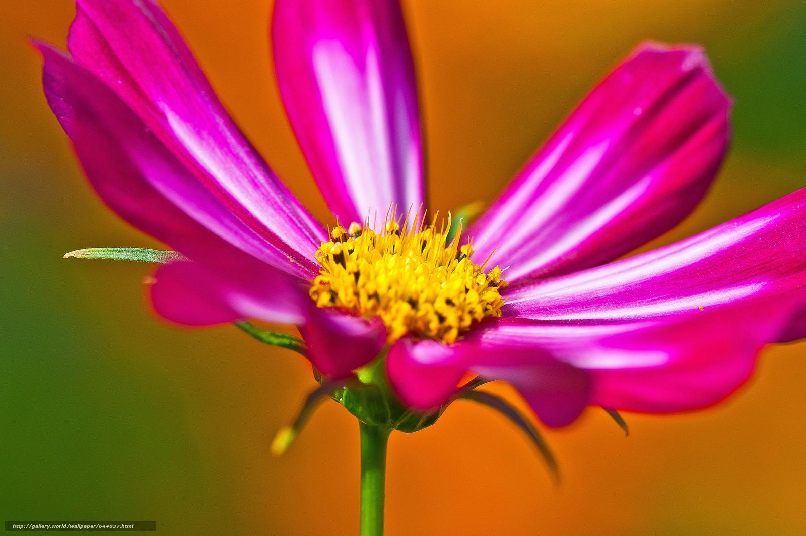 Скачать обои цветы,  цветок,  космея,  космеи бесплатно для рабочего стола в разрешении 2048x1360 — картинка №644037