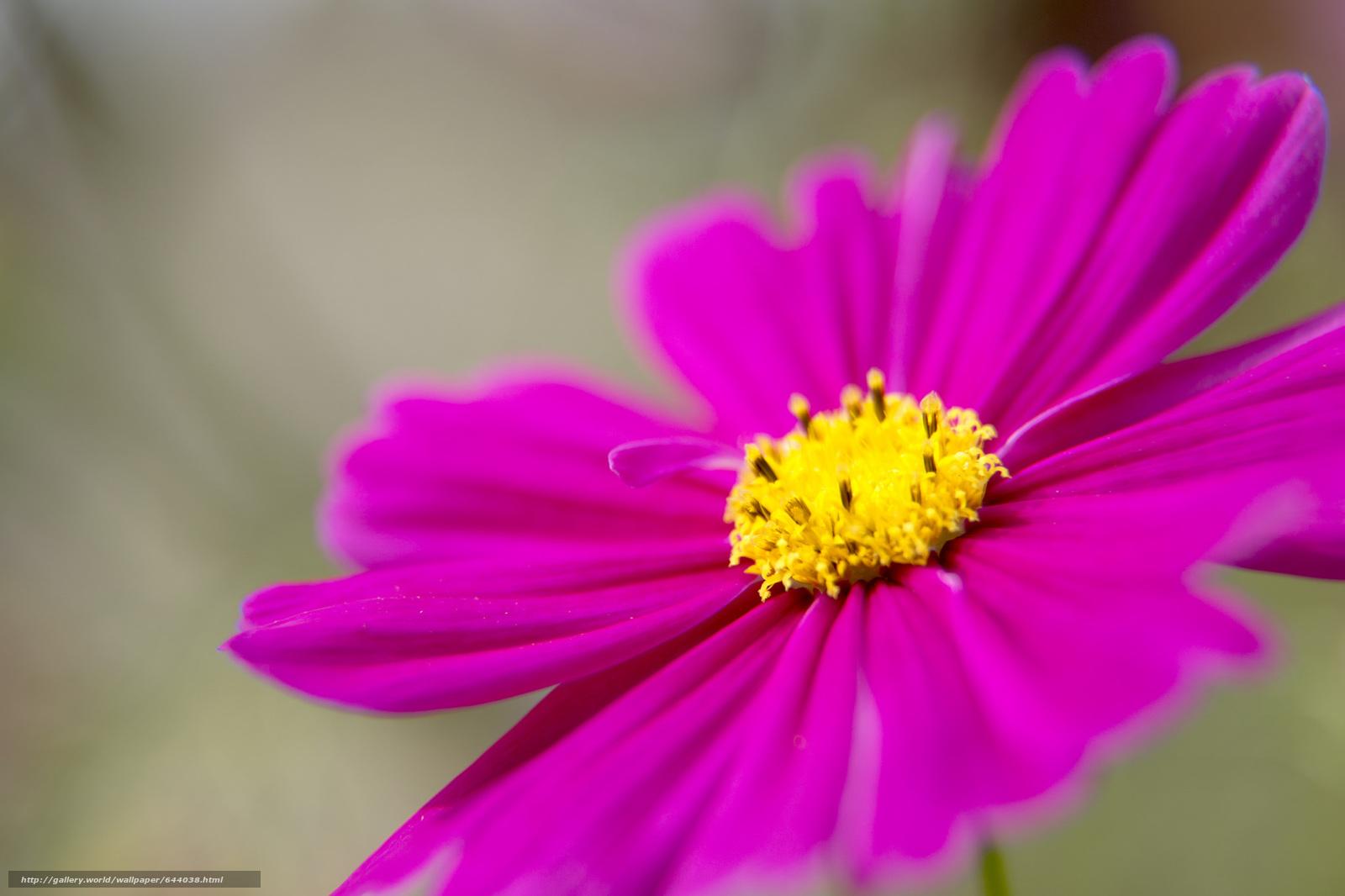 Скачать обои цветы,  цветок,  космея,  космеи бесплатно для рабочего стола в разрешении 2048x1365 — картинка №644038