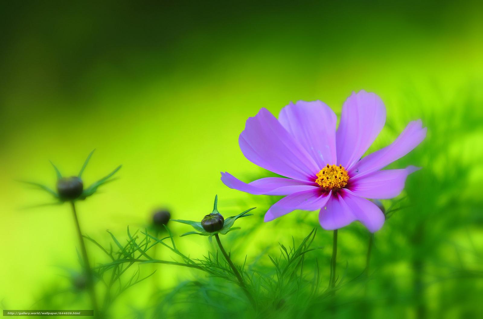 Tlcharger Fond d'ecran Fleurs,  fleur,  kosmeya,  cosmos Fonds d'ecran gratuits pour votre rsolution du bureau 2048x1356 — image №644039