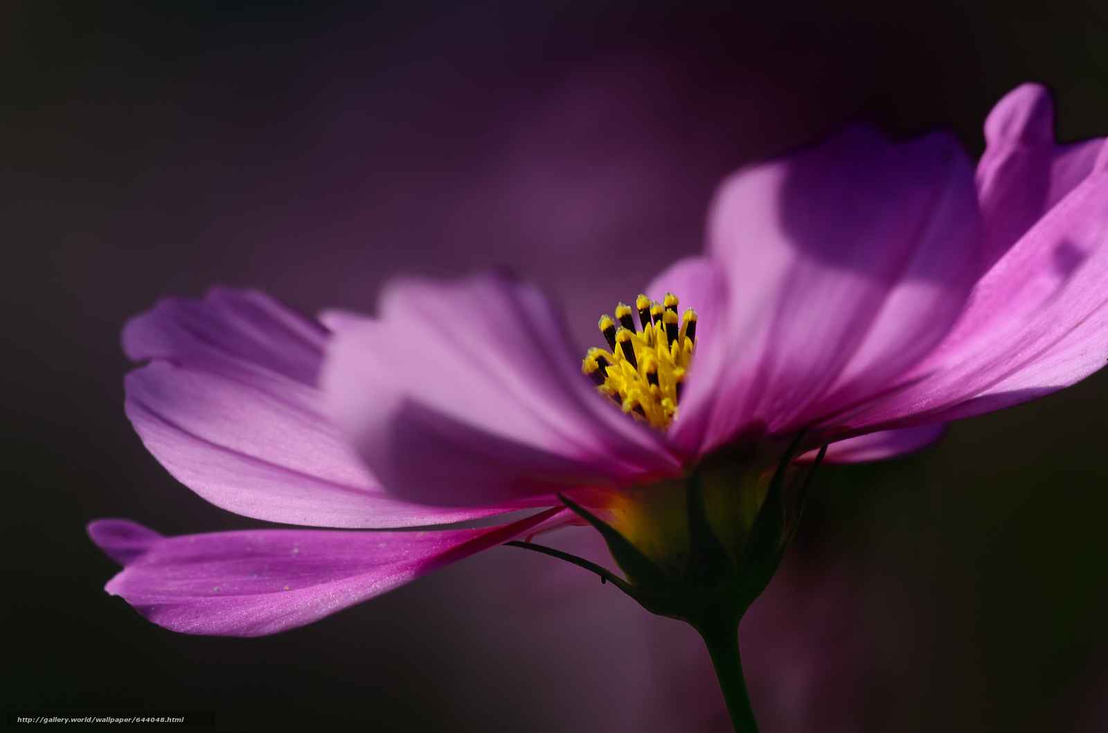 Tlcharger Fond d'ecran Fleurs,  fleur,  kosmeya,  cosmos Fonds d'ecran gratuits pour votre rsolution du bureau 2048x1356 — image №644048