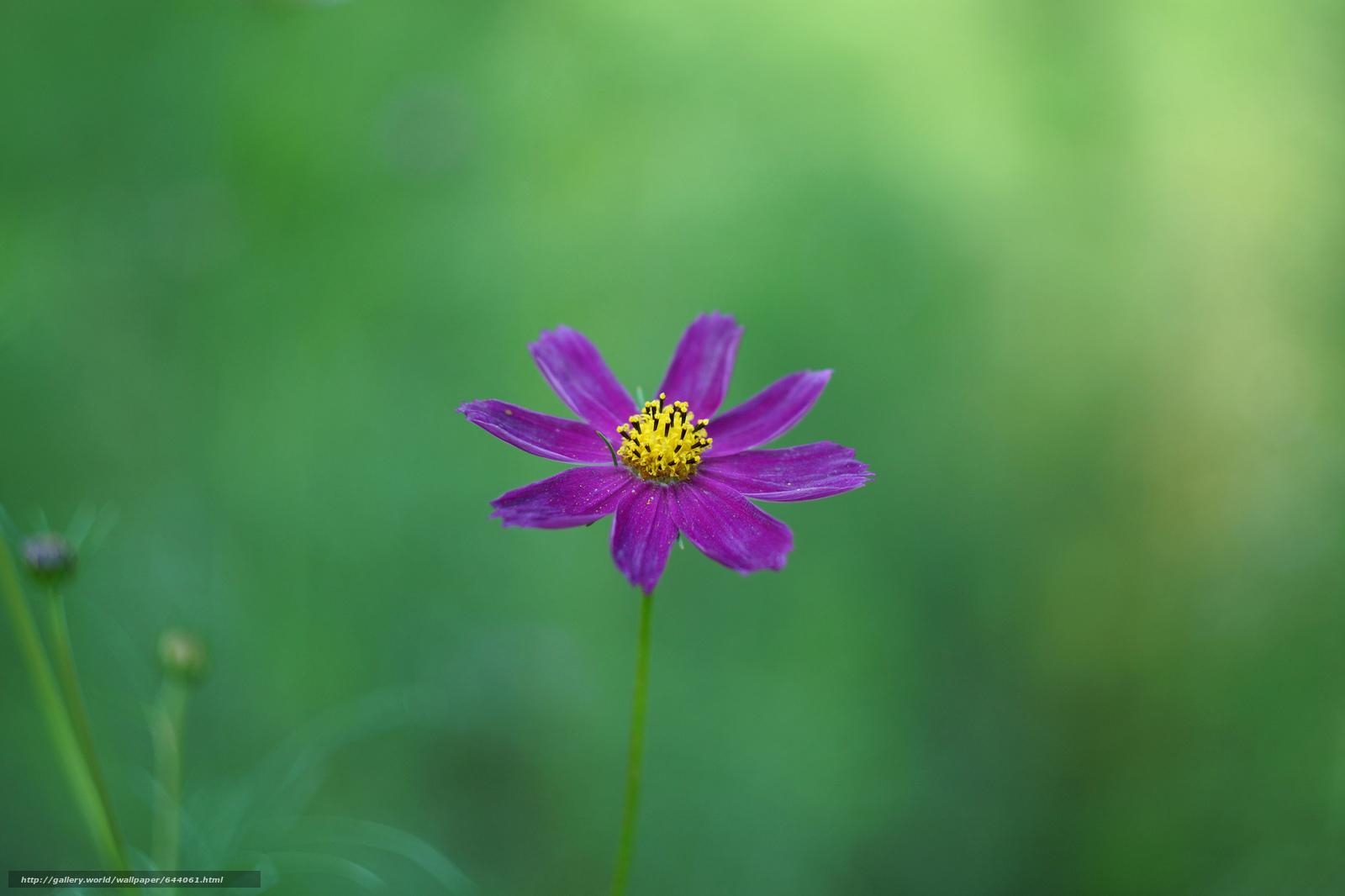 Descargar gratis Flores,  flor,  Kosmeya,  cosmos Fondos de escritorio en la resolucin 2048x1365 — imagen №644061