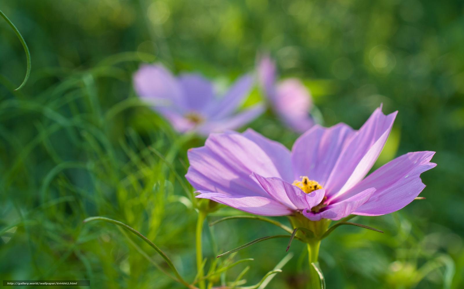 Скачать обои цветы,  цветок,  космея,  космеи бесплатно для рабочего стола в разрешении 2048x1273 — картинка №644062