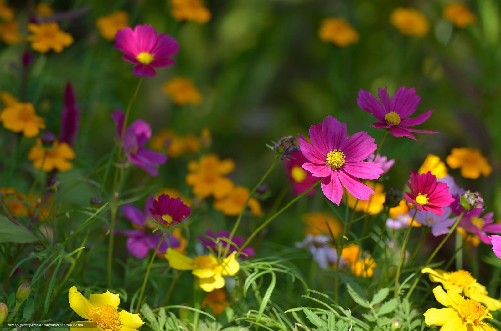 Tlcharger Fond d'ecran Fleurs,  fleur,  kosmeya,  cosmos Fonds d'ecran gratuits pour votre rsolution du bureau 2048x1356 — image №644067