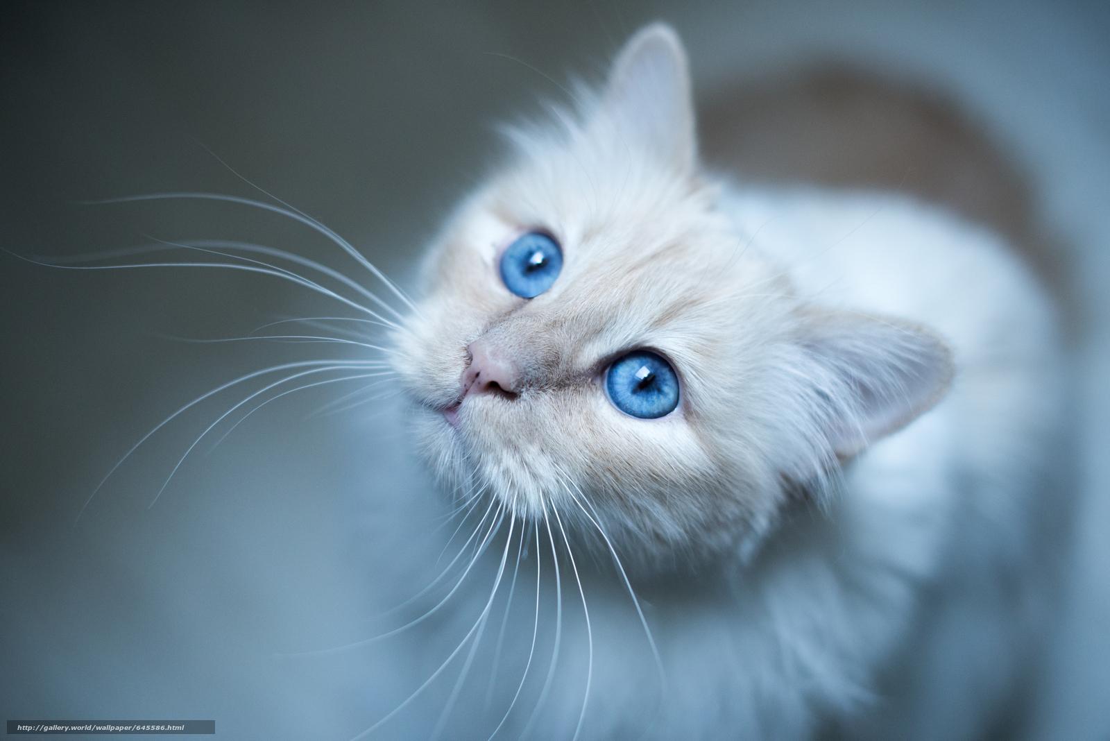 Descargar gratis Birmano,  gato,  hocico,  ojos azules Fondos de escritorio en la resolucin 6016x4016 — imagen №645586