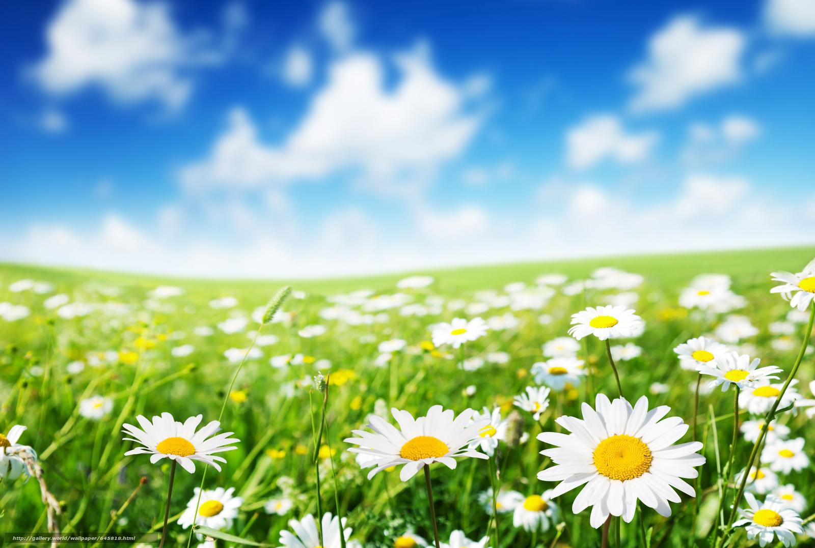 Скачать обои поле,  цветы,  ромашки,  макро бесплатно для рабочего стола в разрешении 5616x3779 — картинка №645818