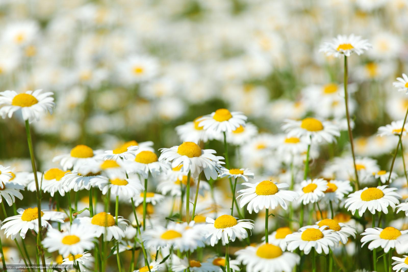 Скачать обои поле,  ромашки,  цветы,  флора бесплатно для рабочего стола в разрешении 5616x3744 — картинка №645895