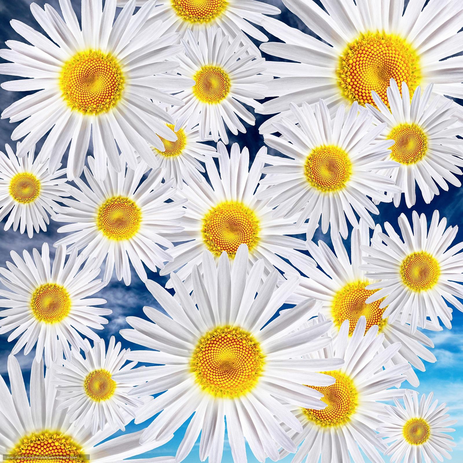 Скачать обои цветы,  ромашки,  цветочный фон бесплатно для рабочего стола в разрешении 6336x6336 — картинка №645896