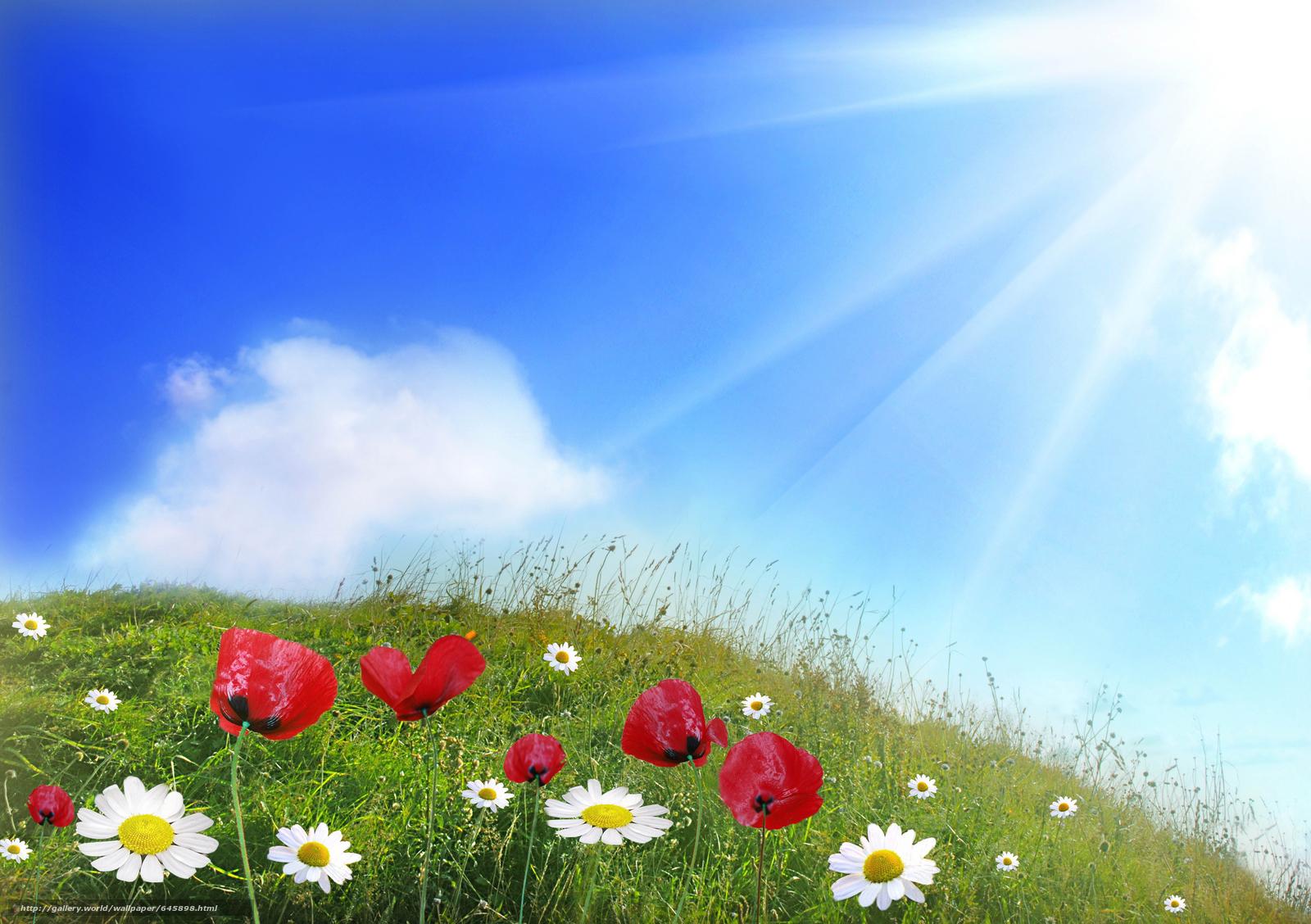 Скачать обои цветы,  ромашки,  маки бесплатно для рабочего стола в разрешении 7356x5184 — картинка №645898