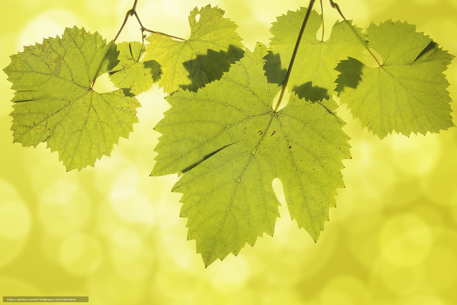 Download wallpaper grape leaves,  nature,  Macro free desktop wallpaper in the resolution 8100x5400 — picture №646188
