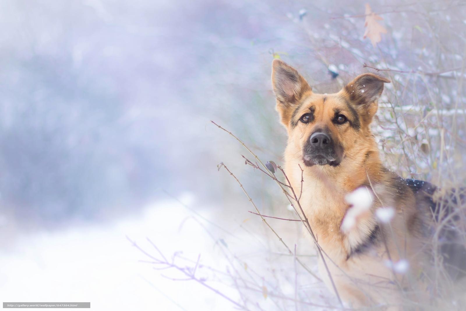 pobra tapety pies,  pasterz,  widok,  zima Darmowe tapety na pulpit rozdzielczoci 3640x2427 — zdjcie №647304