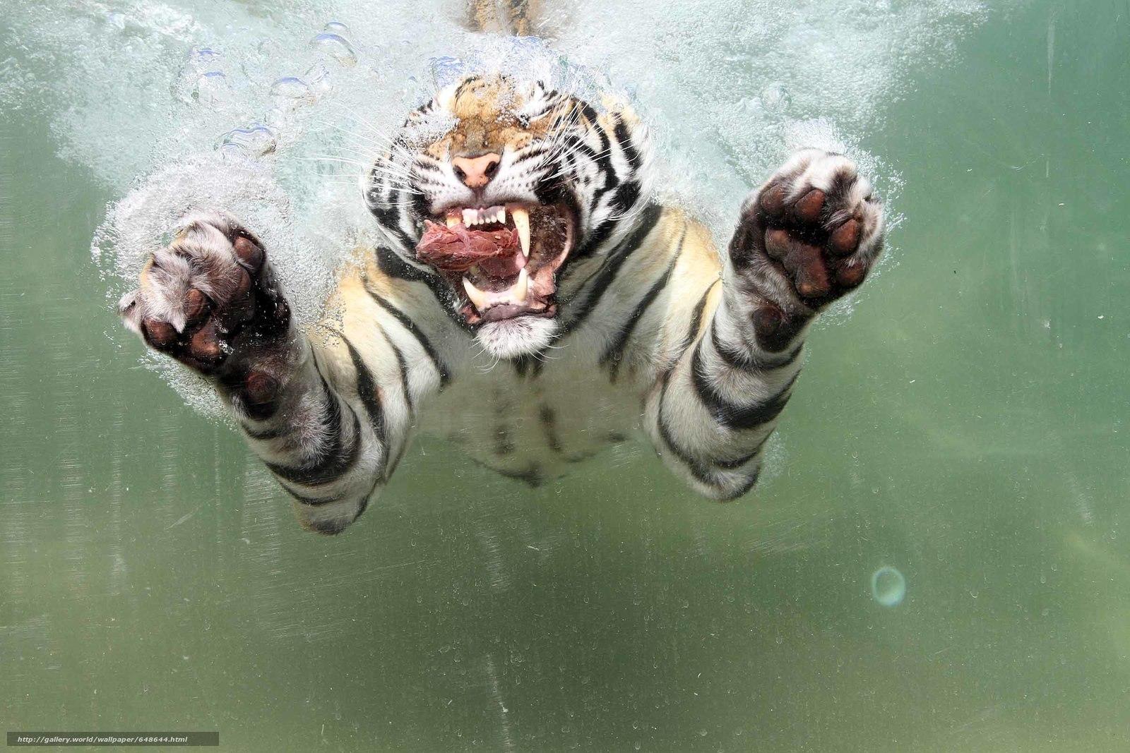 Descargar gratis tigre,  depredador,  agua,  carne Fondos de escritorio en la resolucin 2400x1600 — imagen №648644