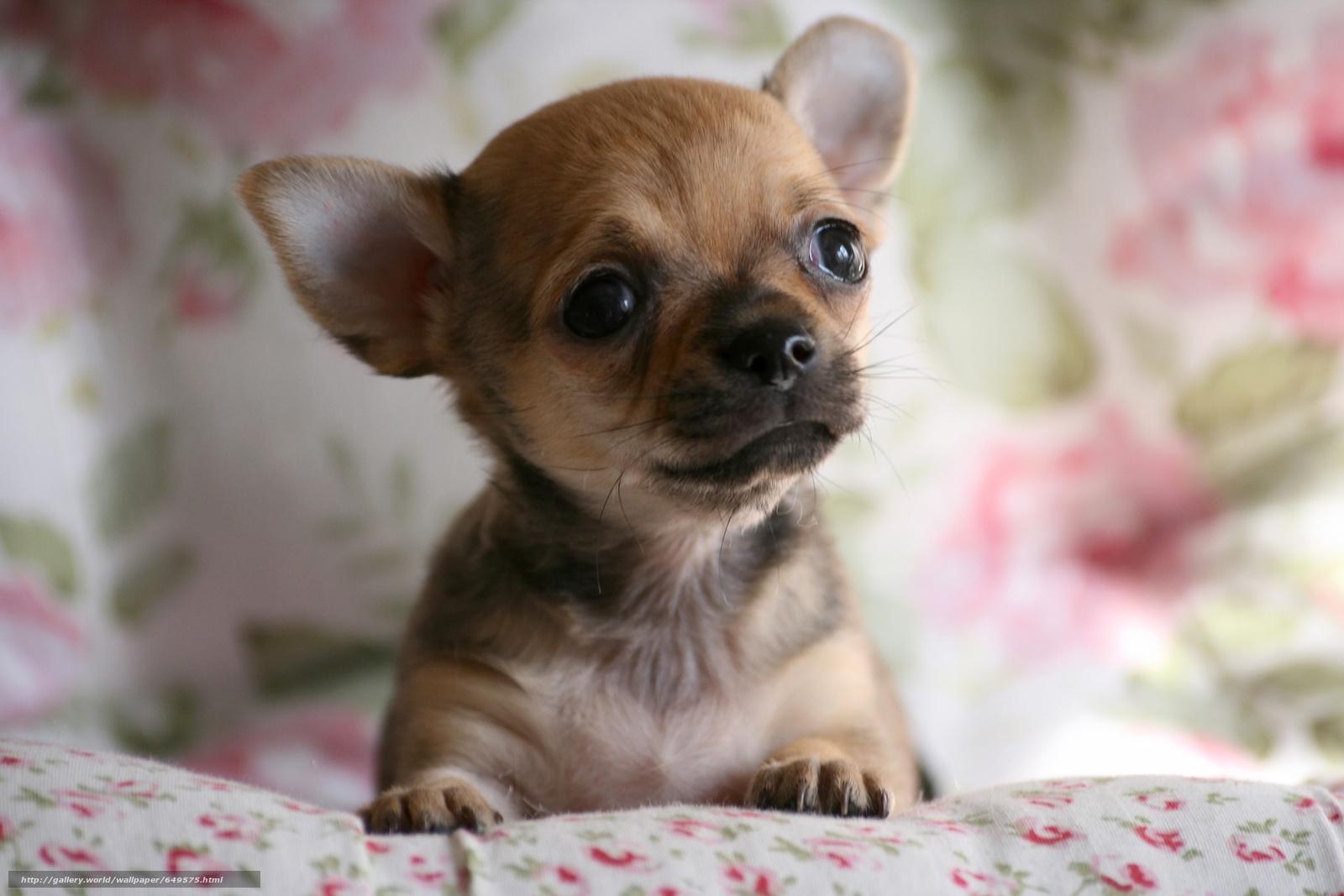 scaricare gli sfondi Chihuahua,  cane,  pecorina,  mordashka Sfondi gratis per la risoluzione del desktop 3888x2592 — immagine №649575