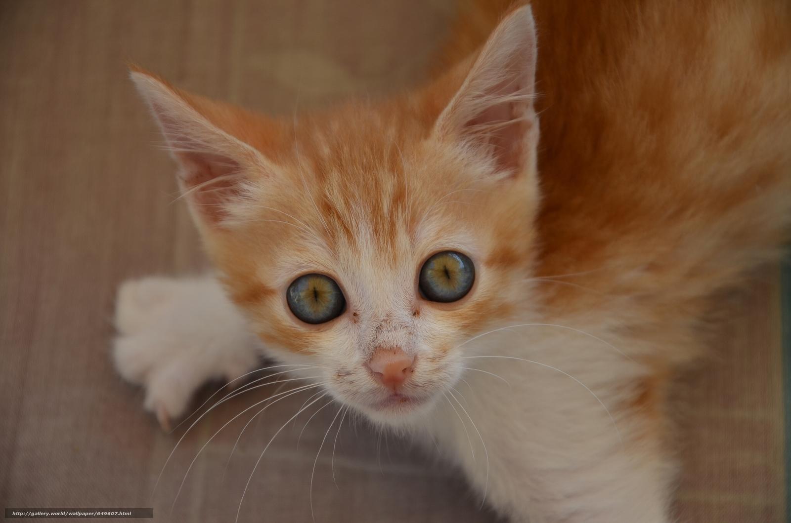 Tlcharger Fond d'ecran gingembre chaton,  chaton,  Rouge,  museau Fonds d'ecran gratuits pour votre rsolution du bureau 2048x1356 — image №649607