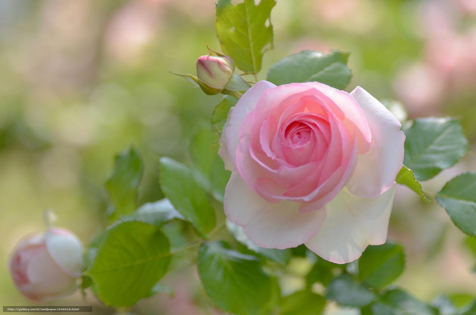 Tlcharger Fond d'ecran rose,  EUDB,  Pétales Fonds d'ecran gratuits pour votre rsolution du bureau 2048x1356 — image №649610