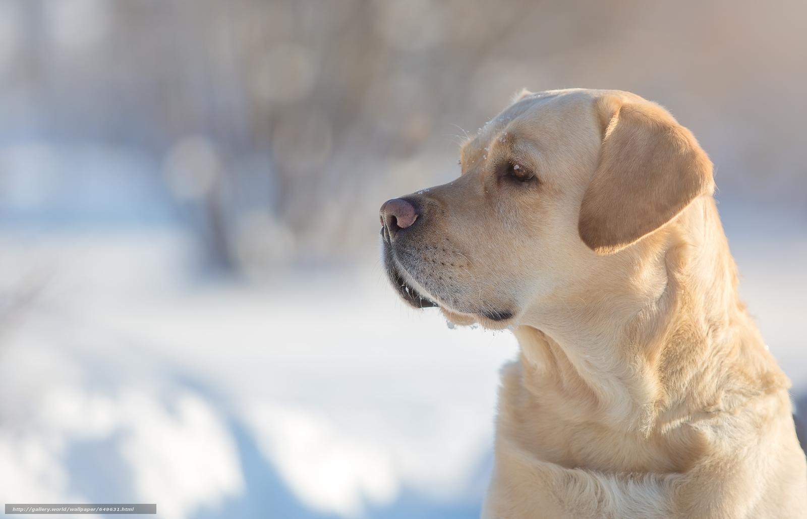 Скачать обои Лабрадор-ретривер,  собака,  пёс,  морда бесплатно для рабочего стола в разрешении 5063x3255 — картинка №649631
