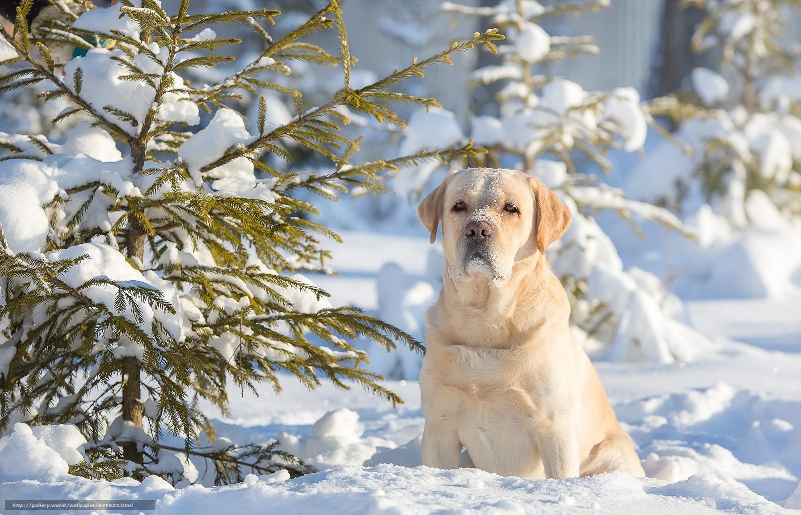 Скачать обои Лабрадор-ретривер,  собака,  пёс,  зима бесплатно для рабочего стола в разрешении 5004x3217 — картинка №649632