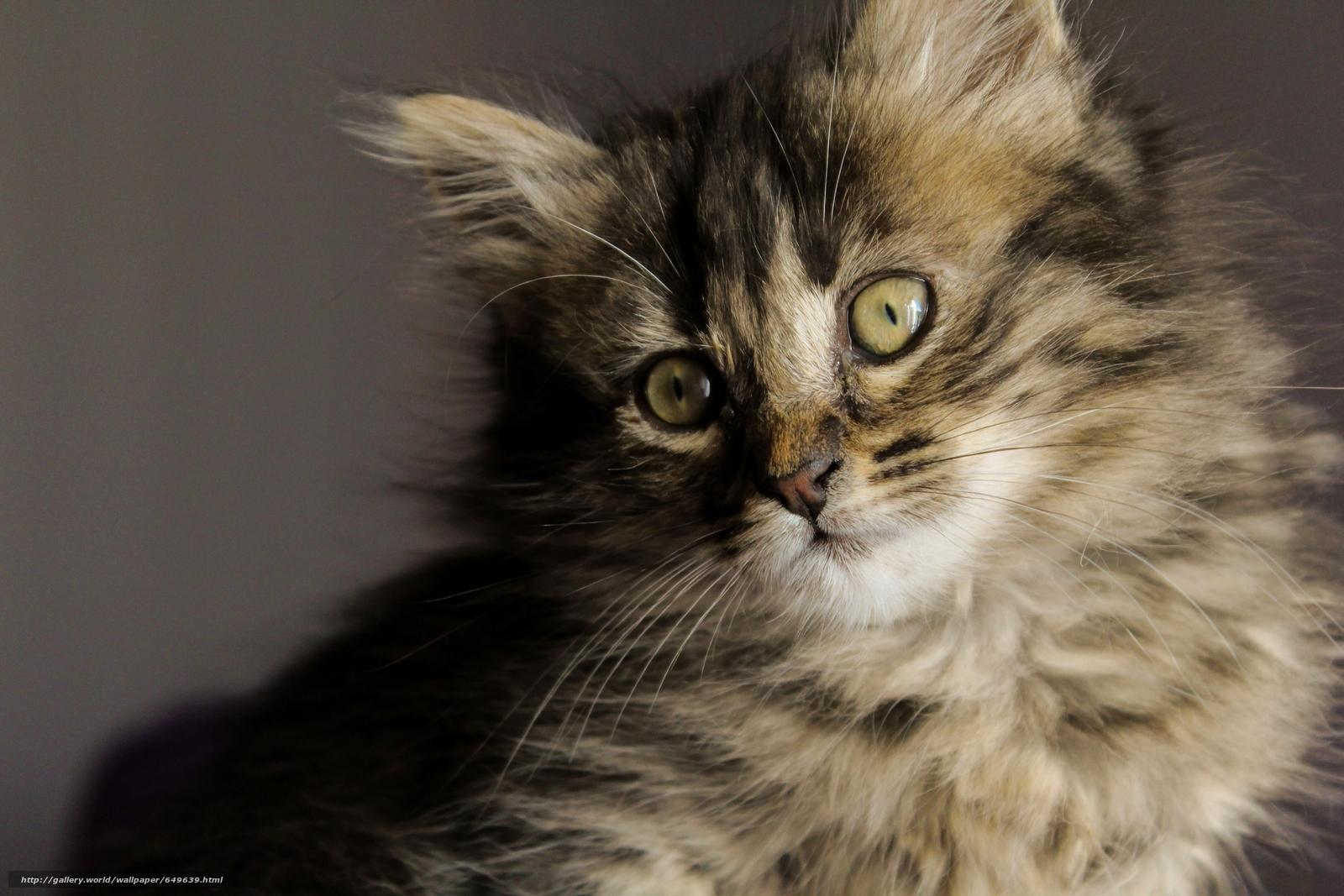 壁紙をダウンロード 子猫,  ふわっとした,  銃口,  ビュー デスクトップの解像度のための無料壁紙 5184x3456 — 絵 №649639