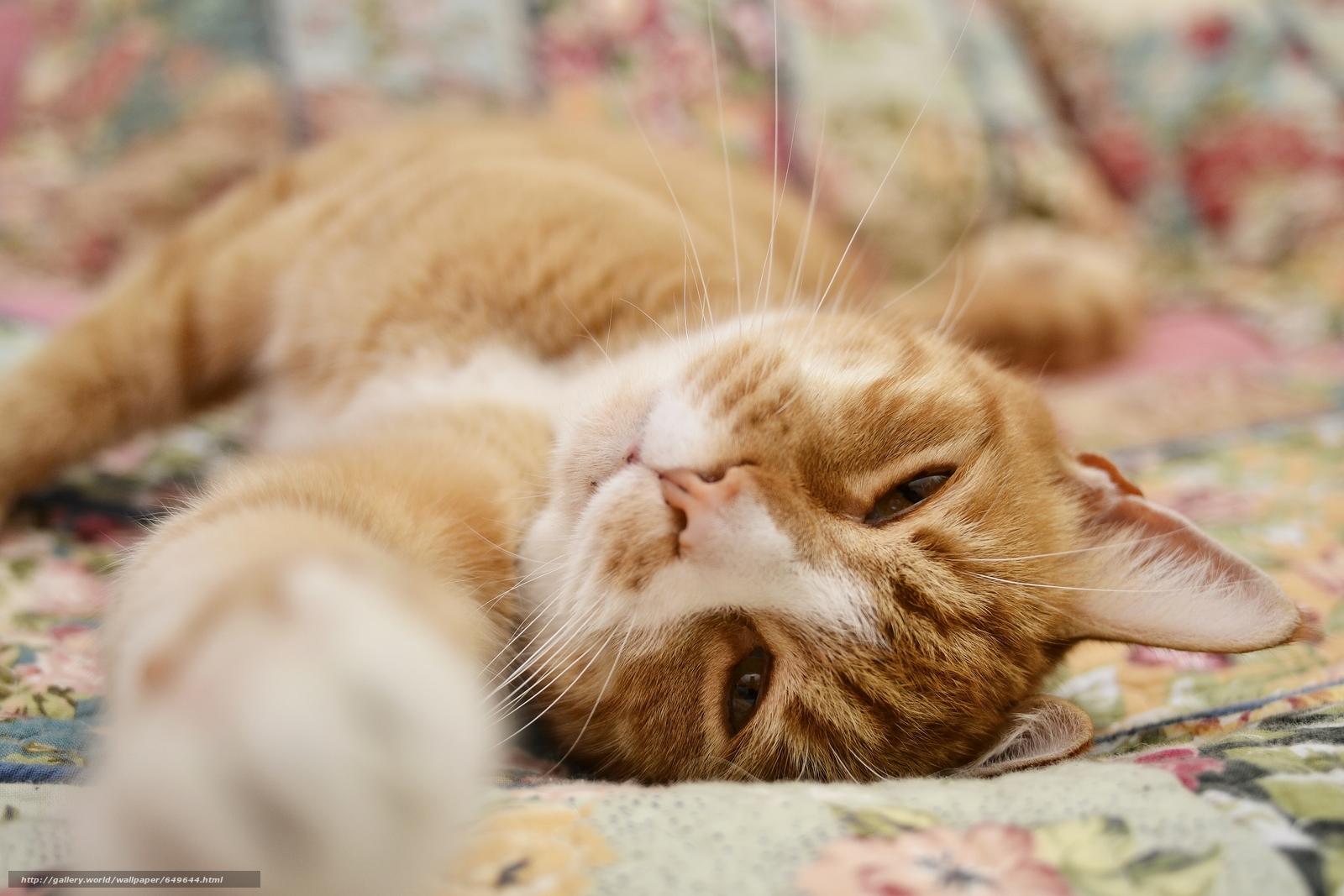 scaricare gli sfondi COTE,  gatto,  Redhead,  museruola Sfondi gratis per la risoluzione del desktop 4608x3072 — immagine №649644