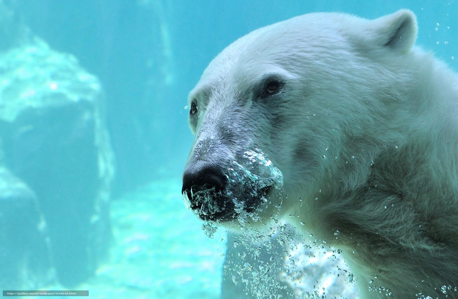 scaricare gli sfondi orso polare,  orso polare,  sopportare,  Muso Sfondi gratis per la risoluzione del desktop 2933x1919 — immagine №649649