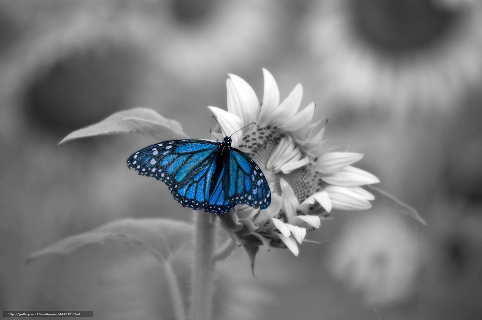 Papillons sur fond bleu 60 photos fonds d 39 cran - Tableau noir et blanc avec touche de couleur ...