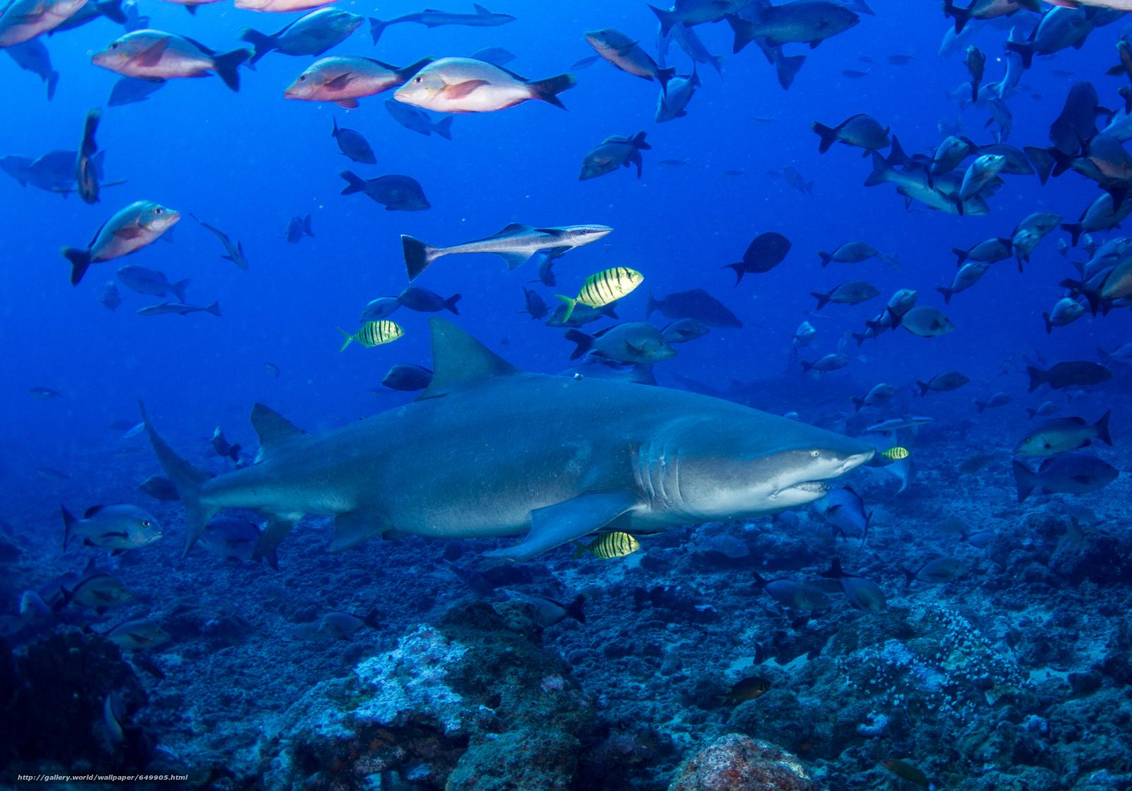 scaricare gli sfondi mare,  fondali,  pesce,  squalo Sfondi gratis per la risoluzione del desktop 2000x1398 — immagine №649905