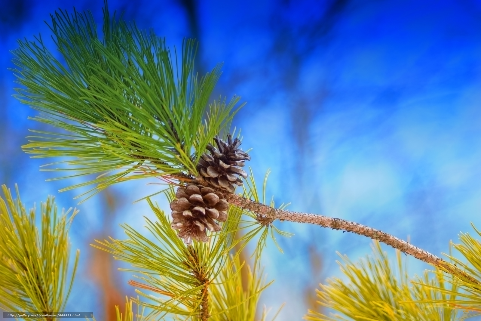 scaricare gli sfondi ramo,  Coni,  aghi,  pino Sfondi gratis per la risoluzione del desktop 6000x4000 — immagine №649921