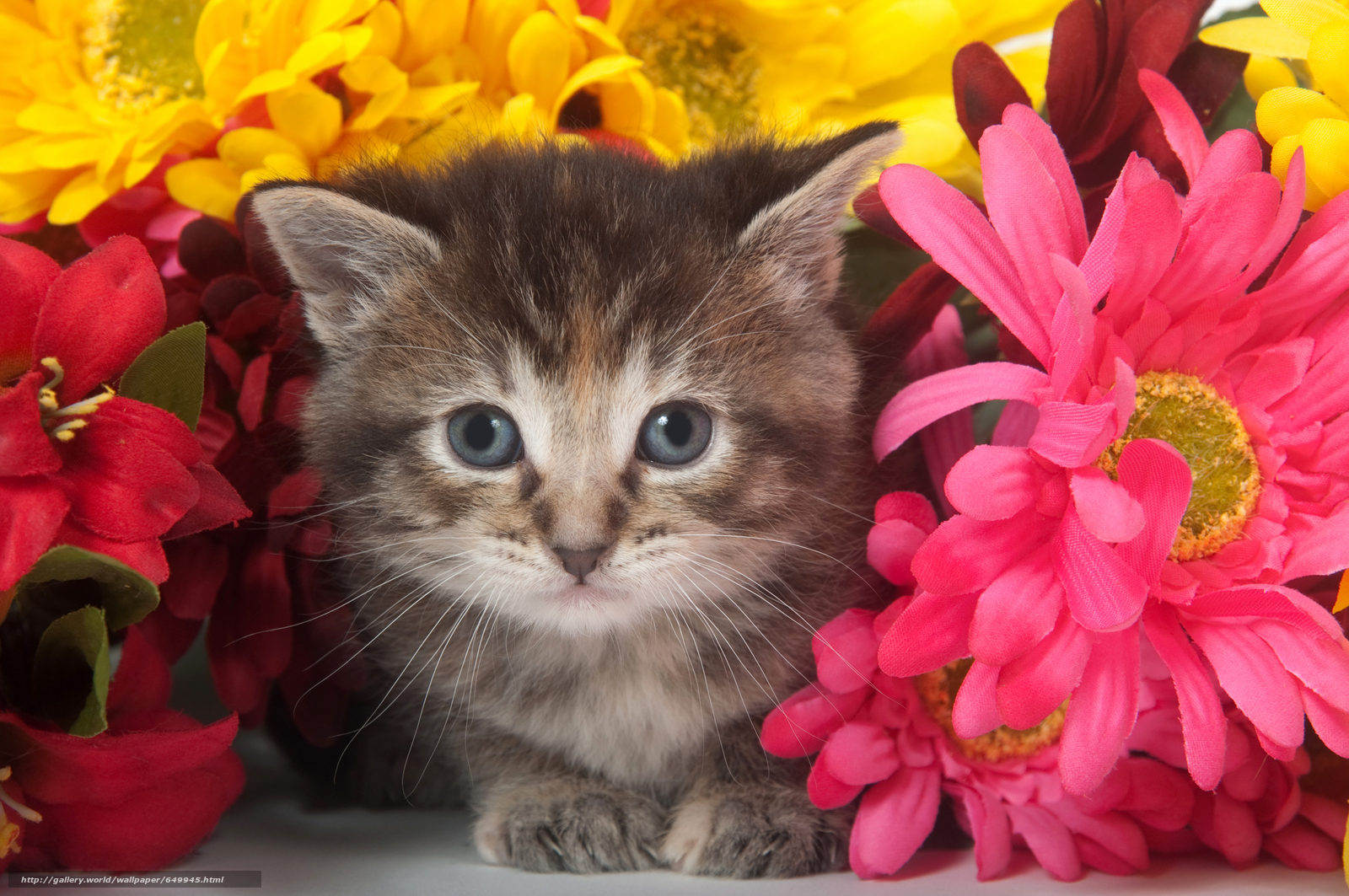 Download wallpaper kitten,  animals,  view free desktop wallpaper in the resolution 8576x5696 — picture №649945