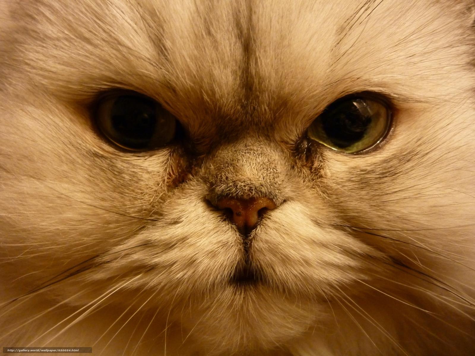 scaricare gli sfondi COTE,  gatto,  museruola,  occhi Sfondi gratis per la risoluzione del desktop 4000x3000 — immagine №650054