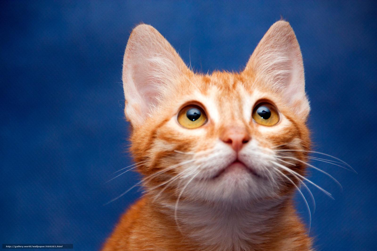 scaricare gli sfondi COTE,  gatto,  gatto,  gattino Sfondi gratis per la risoluzione del desktop 2500x1667 — immagine №650351