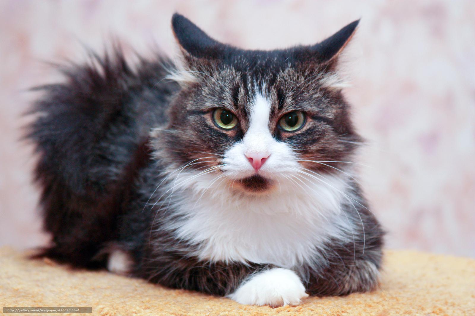 Скачать обои кот,  кошка,  кошки,  фон бесплатно для рабочего стола в разрешении 2500x1667 — картинка №650686