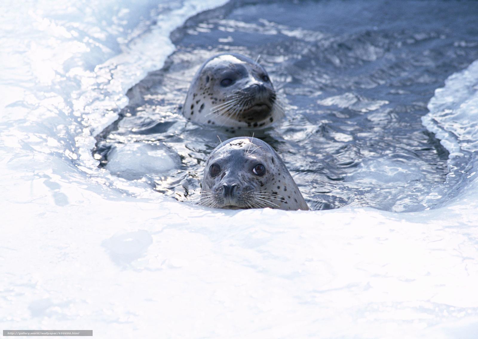 Скачать обои морской котик,  животные,  Антарктида,  снег бесплатно для рабочего стола в разрешении 2950x2094 — картинка №650696